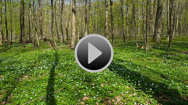 Video starten: Baumschatten wandern über den blütenbedeckten Waldboden