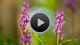 Video starten: Orchideen im Wind